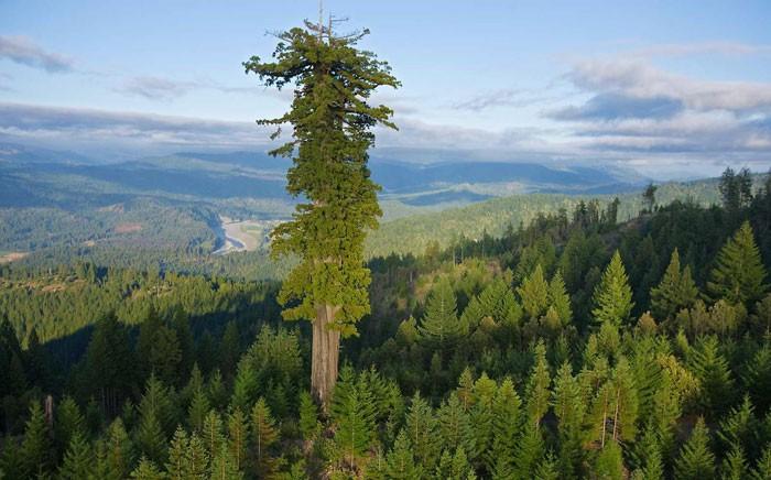 Sekoya Ağacı: Dünyanın en büyük ağaç türü